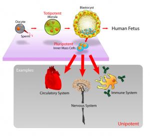 Integración de genoma materno en el genoma del neonato a través de transporte de fragmentos de RNA en la leche materna